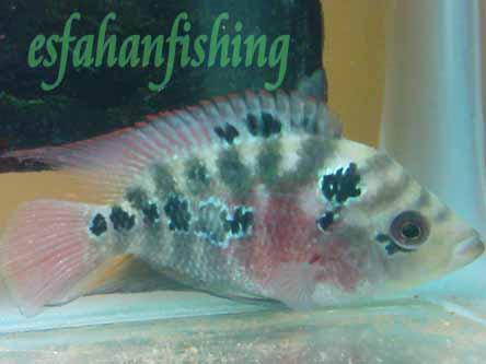 عكسهای ماهی اكواریومی فلاور  ارسالی توسط میثم سیف پناهی