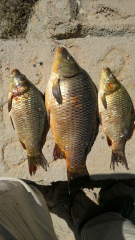 http://esfahanfishing.persiangig.com/kiyvanfishing/7.jpg